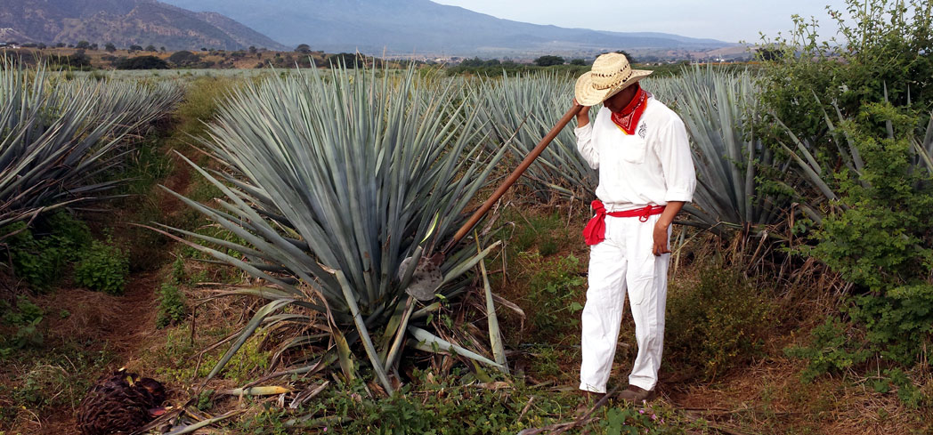 A jimador in the agave fields at Casa Herradura