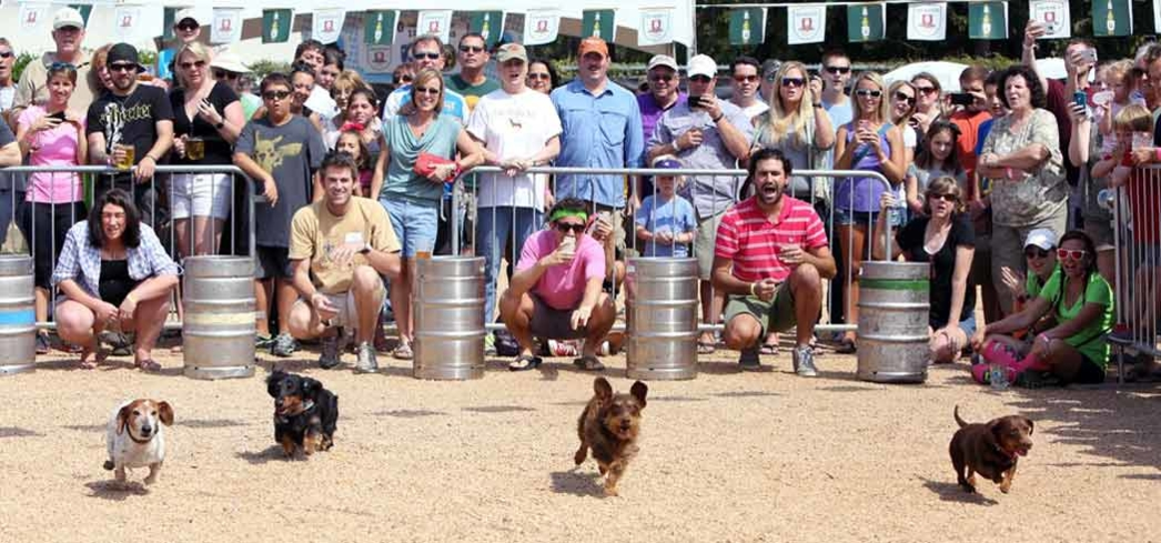 Dachsund race at the Oktoberfest in Fort Worth