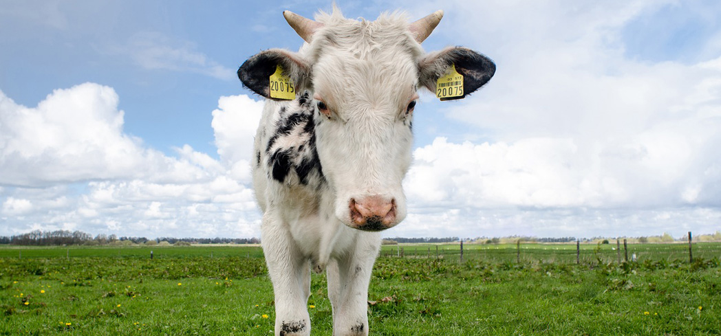 Check out GAYOT's guide to the different types of cattle