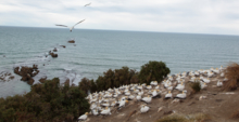 A Gannet colony near the shore