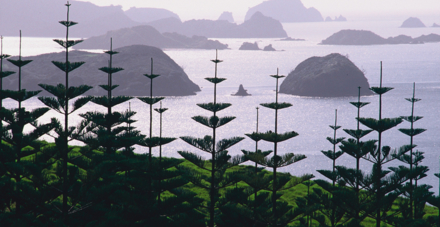 The Cavalli Islands obscured by Norfolk Pine