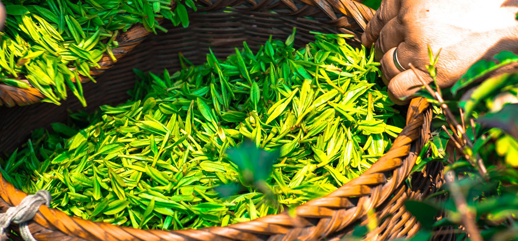 Regular consumption of green tea may have a role in preventing a variety of cancers