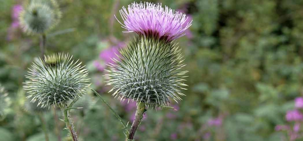 Milk thistle is a powerful liver detox agent