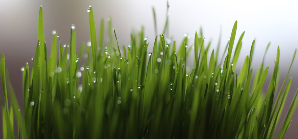 Wheatgrass packs a slew of vitamins, minerals and amino acids into one small juice shot
