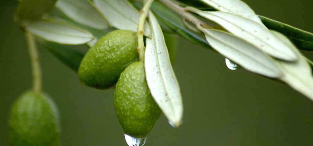 Olive leaf extract has been used medicinally for centuries in the Mediterranean and Middle Eastern regions