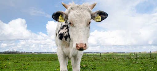 Check out GAYOT's guide to different cattle breeds