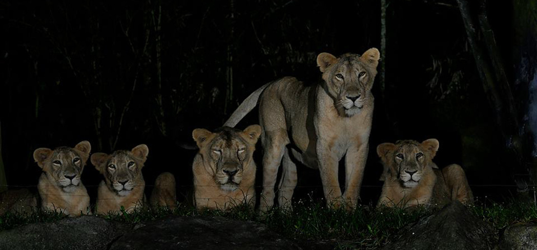 Lions at Wildlife Reserves Singapore Night Safari