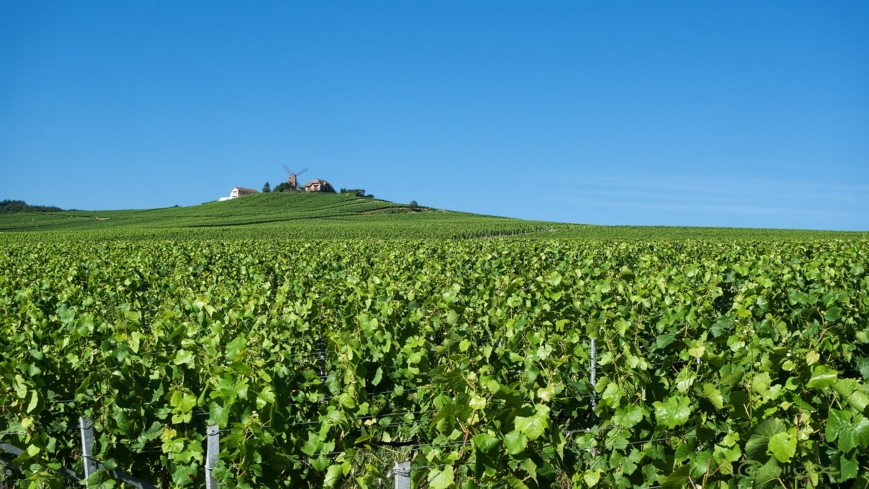 A lush vineyard along Route Montagne de Reims