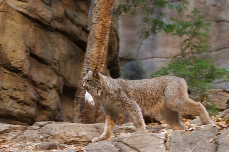 A Canada Lynx at the Laurentian Maple Forest exhibit in the Montréal Biodôme