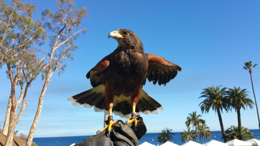Learn how to call a hawk to you during the Catalina Falconry Experience