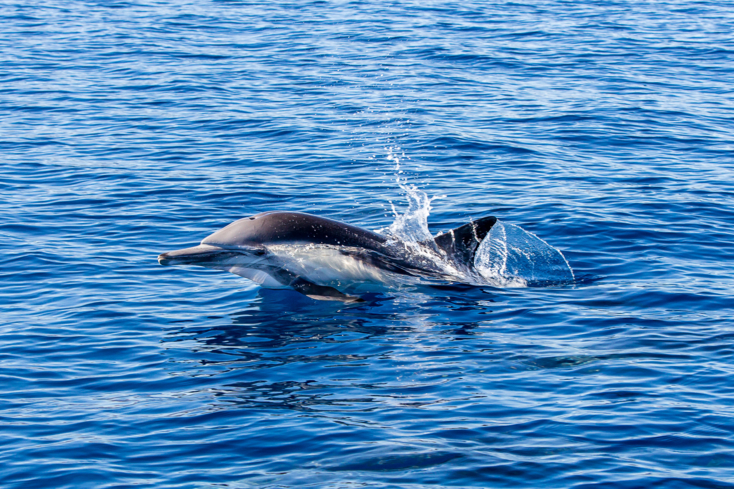 Visit the mammals inhabiting Catalina Island's surrounding waters on the Ocean Runner expedition