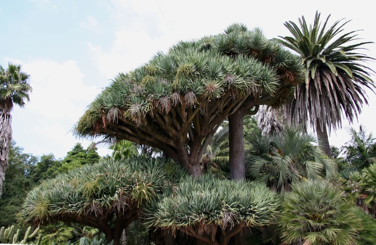 The Dracaena circle at Lotusland