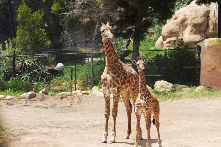 Feed the giraffes at the Santa Barbara Zoo