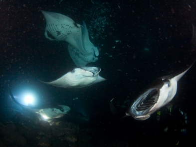Get up close and personal with Manta Rays at night