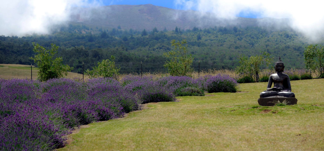 The grounds of Ali'i Kula Lavender Farm