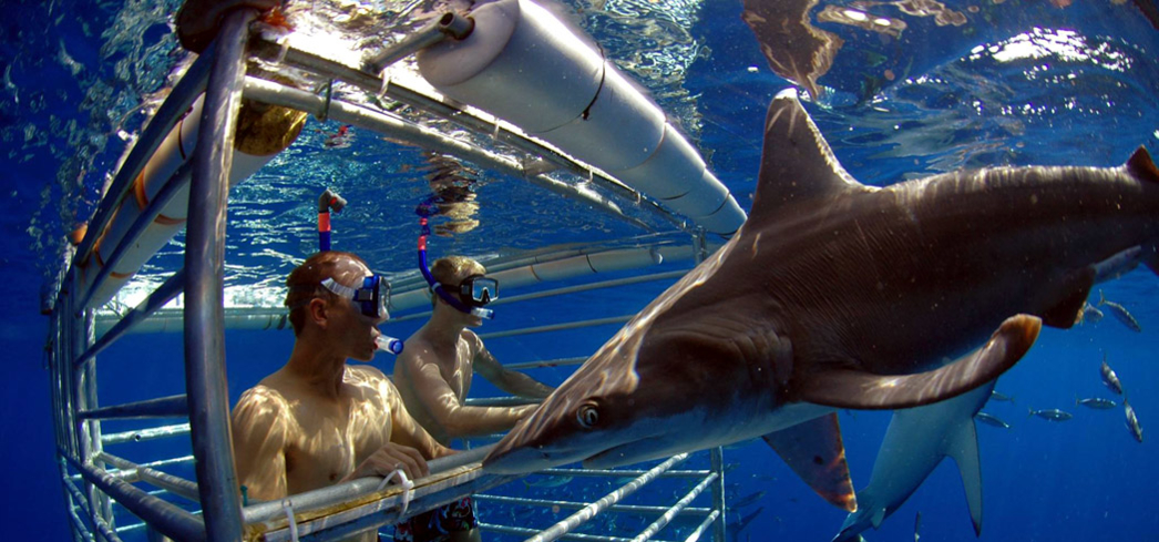 Shark cage diving with Hawaii Shark Encounters