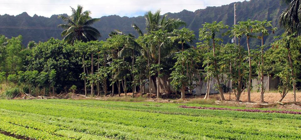 The multihued rows of vegetables of Nalo Farms at the base of the Ko'olau Mountains