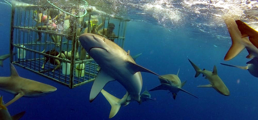 North Shore Shark Adventures gets you up close and personal with sharks