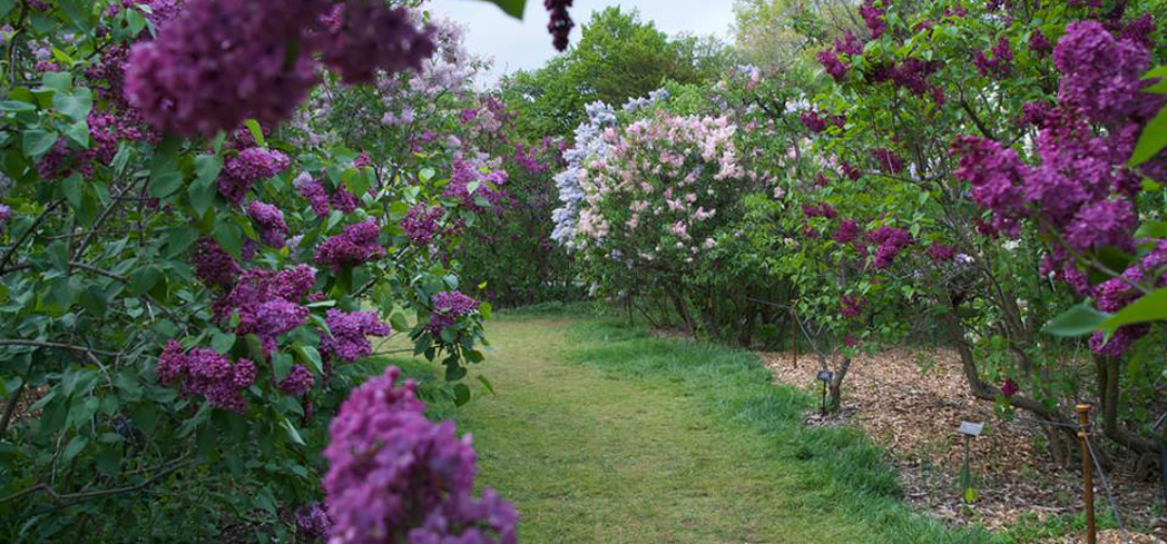 Lilacs in bloom at Brooklyn Botanic Garden