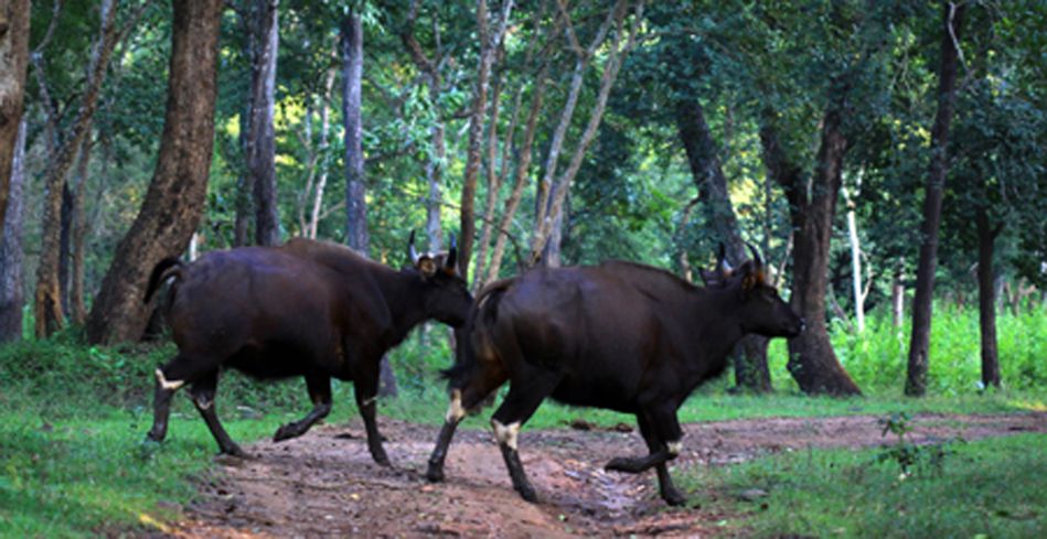 Two Indian Gaur at the Rajiv Gandhi National Park