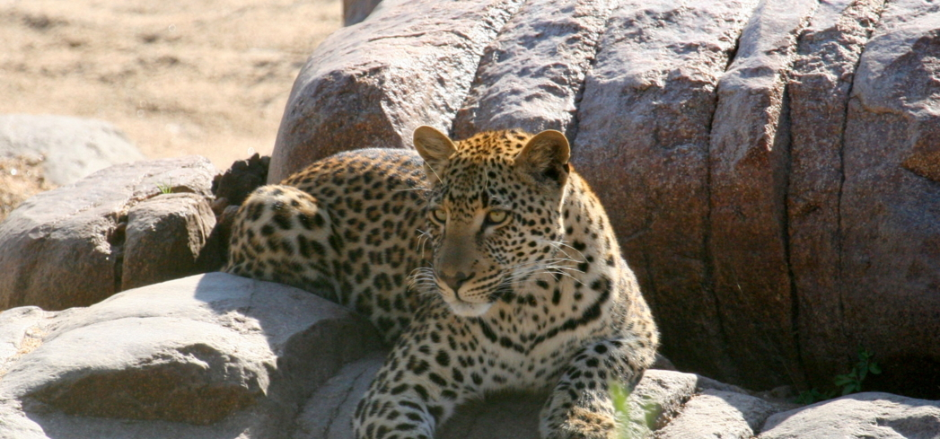 A leopard relaxes in the South African sun.